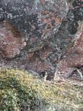 Peregrine (Pilgrimsfalk) Falco peregrinus