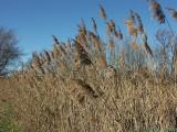 2006-11-25* Reeds