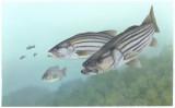 Striped_bass_FWS_1.jpg