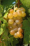 Grape from Vrsac