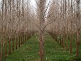 Poplar tree farming, Engelbert