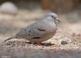 Peruaanse Steenduif - Croaking Ground-Dove - Columbina cruziana