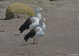Andesgans - Andean Goose - Chloephaga melanoptera