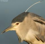 Kwak - Blackcrowned Night-heron - Nycticorax nycticorax