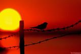 Boerenzwaluw - Barn swallow - Hirundo rustica