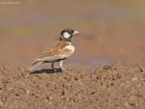 Bruinrugvinkleeuwerik - Chestnut-backed sparrow-lark - Eremopterix leucotis