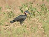 Noordelijke hoornraaf - Abyssinian ground hornbill - Bucorvus abyssinicus