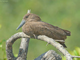Hamerkop - Hamerkop - Scopus umbretta