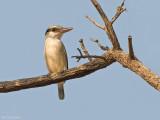 Gestreepte ijsvogel - Striped kingfisher - Halcyon chelicuti