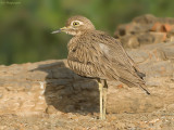 Stone-curlews, Thick-knees