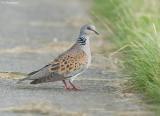 Zomertortel - Turtle dove - Streptopelia turtur