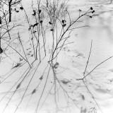Stalks and Snow, Ottawa, Canada