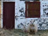 Behaving Sheepishly