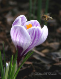 Crocus n Bee