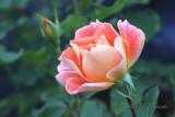 Gypsy Dancer Rose