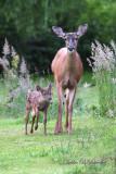 Mamma Deer & fawn