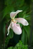 Paphiopedilum Orchid 2