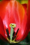 Peeking inside a Tulip