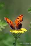 Brushfoot Satyr Comma Butterfly