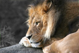 African Lion 02