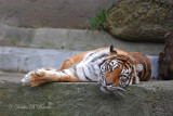 Sumatran Tiger (female)