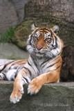 Sumatran Tiger 02 (female)