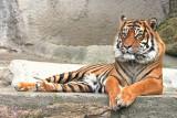 Sumatran Tiger 03 (male)
