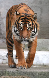Sumatran Tiger 04 (male)