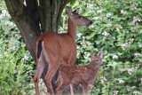 Mamma Deer and fawn