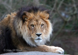African Lion 03