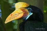 Red-Knobbed Hornbill 02