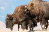 American Bison Family Photo