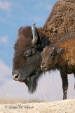 American Bison 02