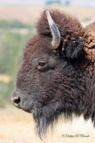 American Bison 03