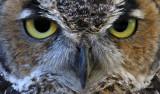 Great Horned Owl 02
