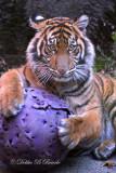 Sumatran Tiger Cub 03