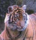 Sumatran Tiger Cub 02
