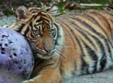Sumatran Tiger Cub 04