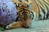 Sumatran Tiger Cub 05
