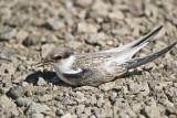 Least Tern - Juvenile