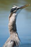 killer heron after swallowing carp
