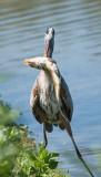 heron eating a carp