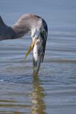 killer heron strikes again