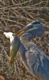 killer heron tries a little spearfishing