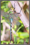 Anax imperator - teneral male