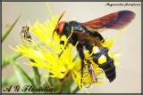 Megascolia flavifrons - female