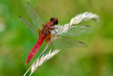 Male Red-veined Darter (Sympetrum Fonscolombii)