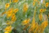 Windflowers *