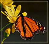 5th place Monarch