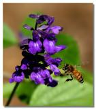 Lilac Bee